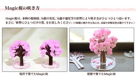 m-sakura_06.jpg